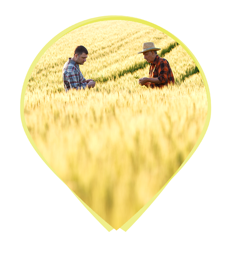 A farmer and a regenagri analyst inspecting a crop in a golden field
